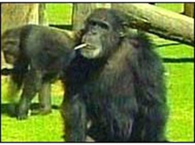 Sigarayı bırakan şempanze